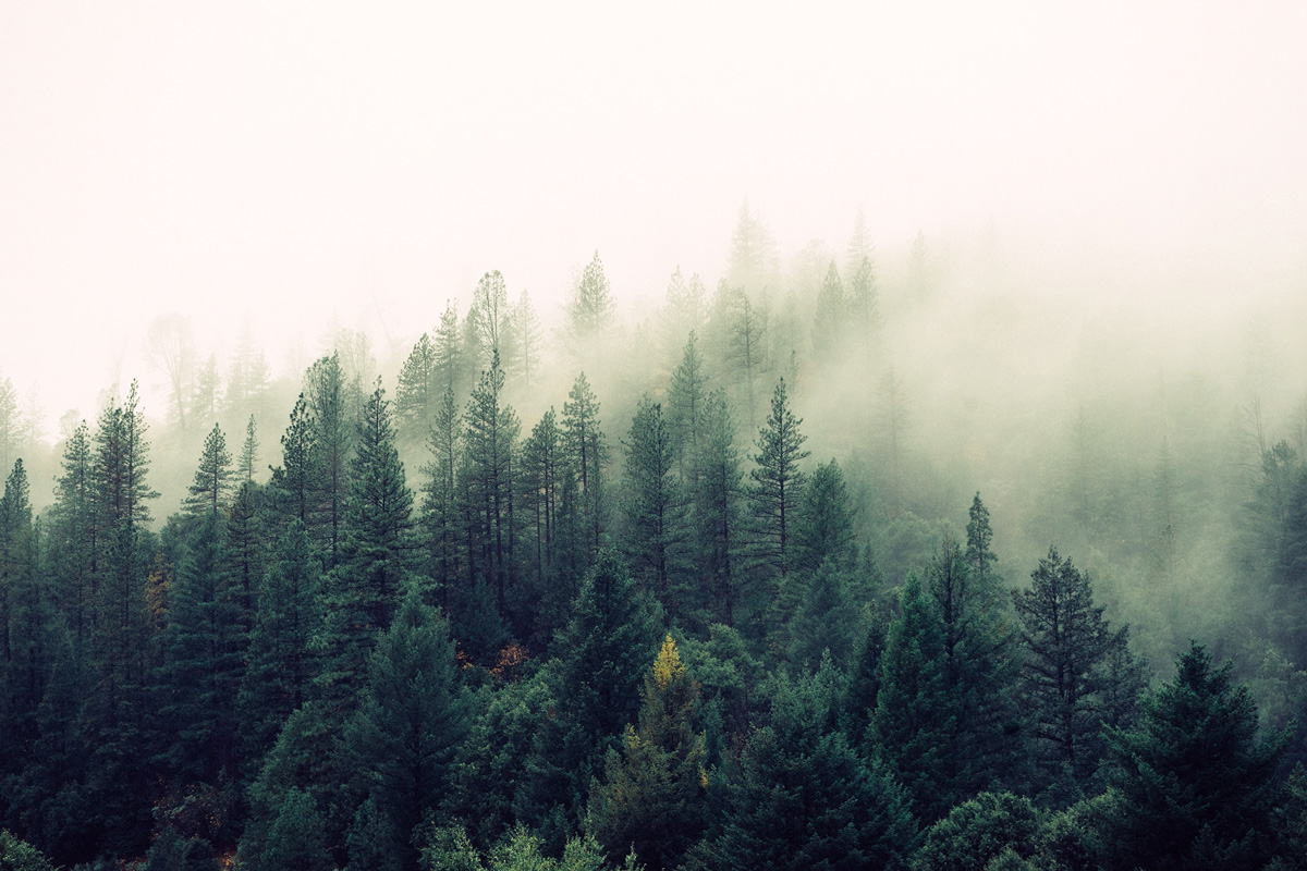 Thick, overwhelming fog over tall, slim trees.